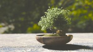 bonsai-1313531